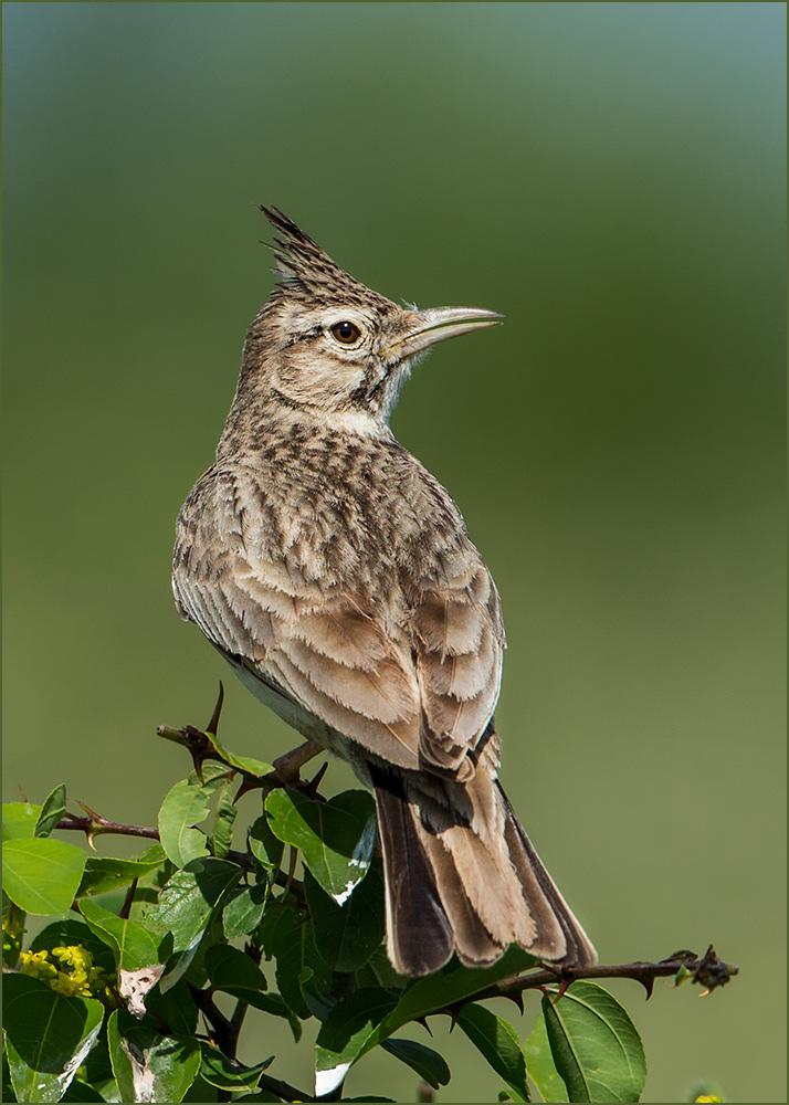 BG22 Haubenlerche / crested lark