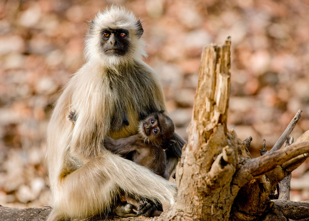 IN026 Hanuman-Languren / hanuman langurs