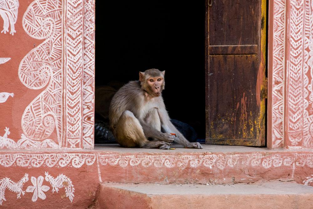 IN063 Rhesusaffe / rhesus monkey