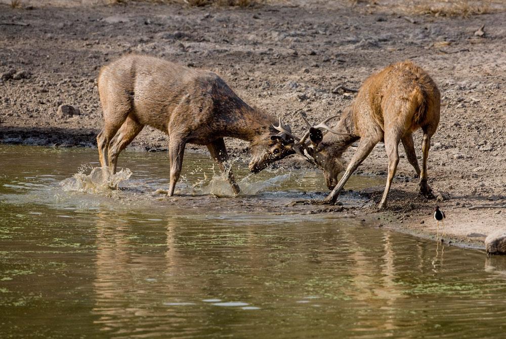IN070 Sambar-Pferdehirsche / Sambar deer