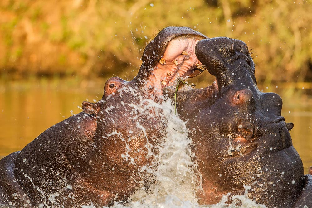 SA222 Flusspferd / hippo