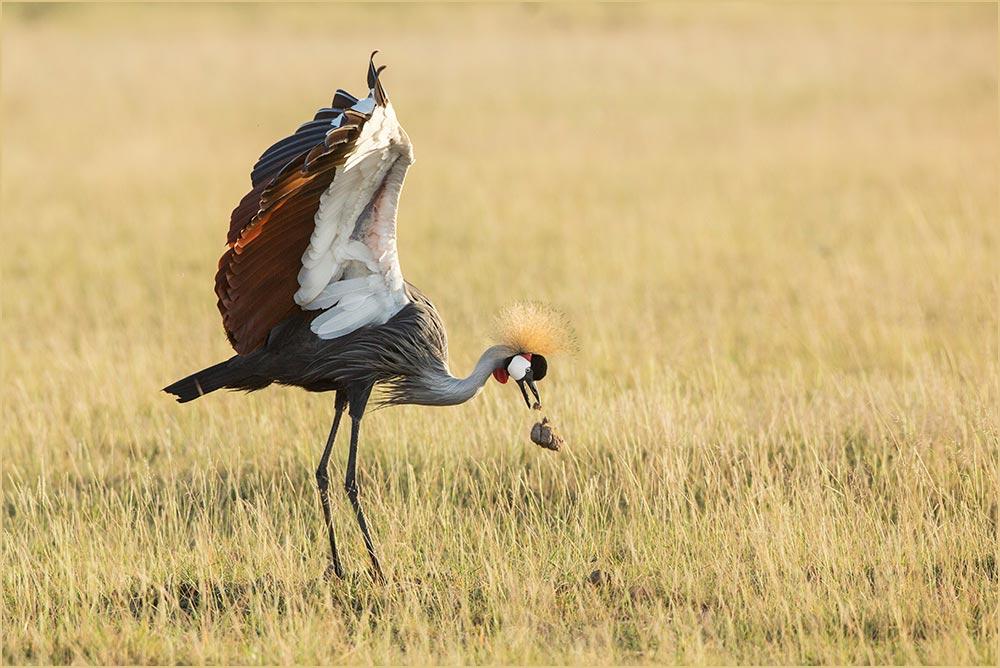 T020 Amboseli, Kronenkranich / crowned crane