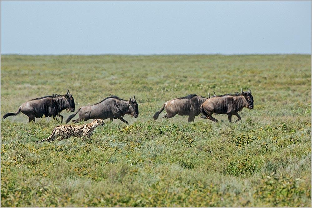 T038 Ndutu, Gepard und Gnus / cheetah and wildebeest