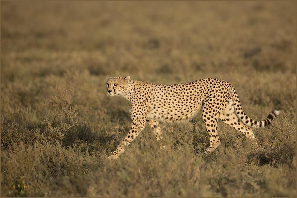 T039 Ndutu, Gepard / cheetah