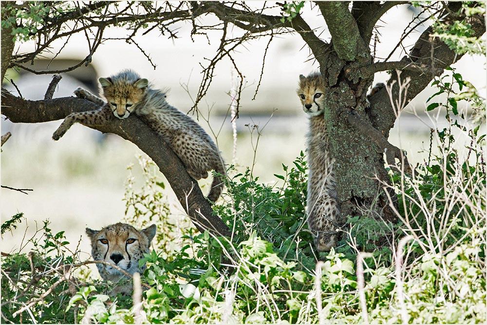 T046 Ndutu, Gepardin mit Babies / cheetah with cubs
