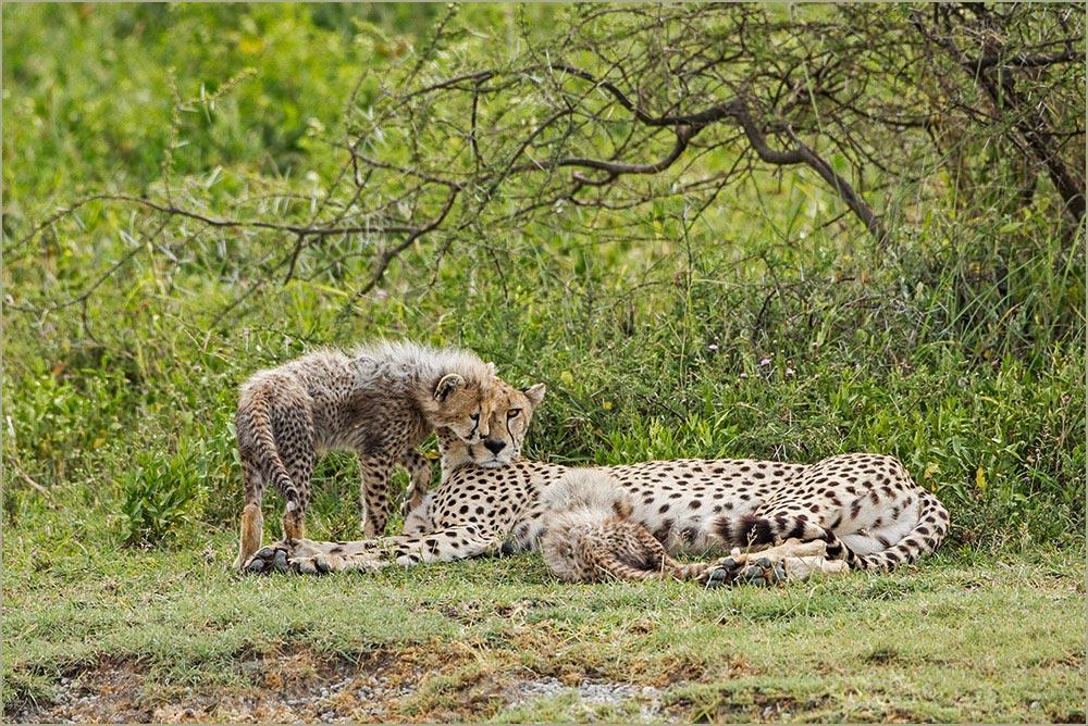 T049 Ndutu, Gepardin mit Babies / cheetah with cubs