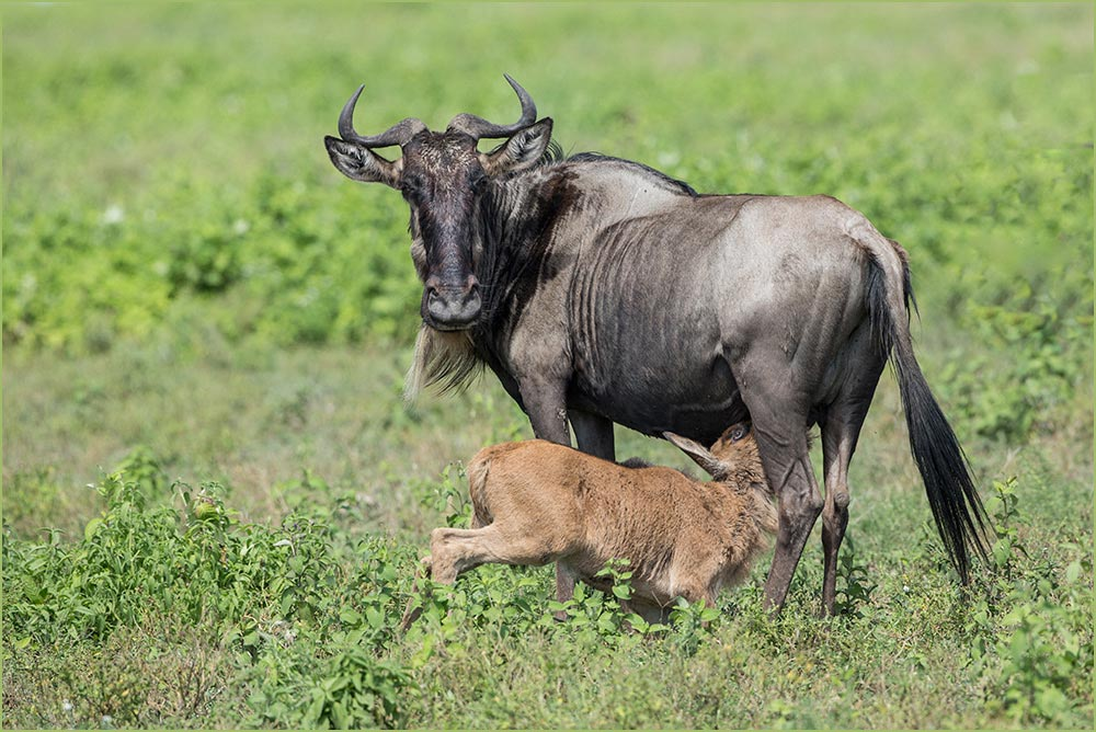 T052 Ndutu, Gnu mit Kalb / wildebeest with calf