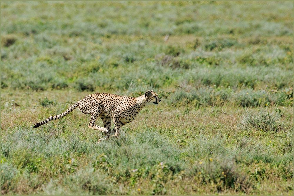 T57 Ndutu, Jagender Gepard / hunting cheetah