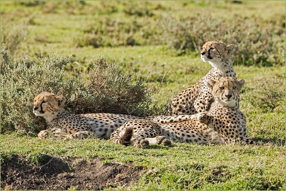 T058 Ndutu, Junge Geparden / young cheetahs