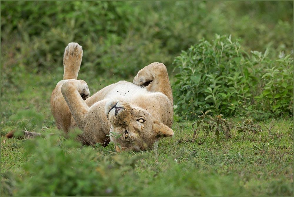 T072 Ndutu, Löwin / lioness