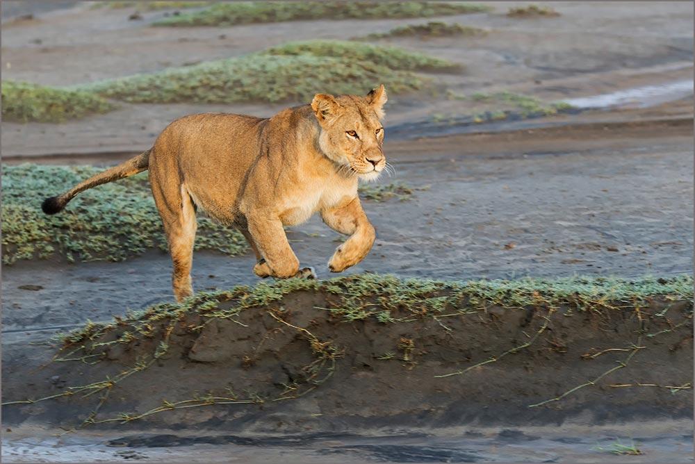 T074 Ndutu, Löwin / lioness