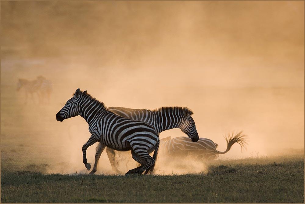 T093 Ndutu, Zebras im Staubbad / zebras dustbathing