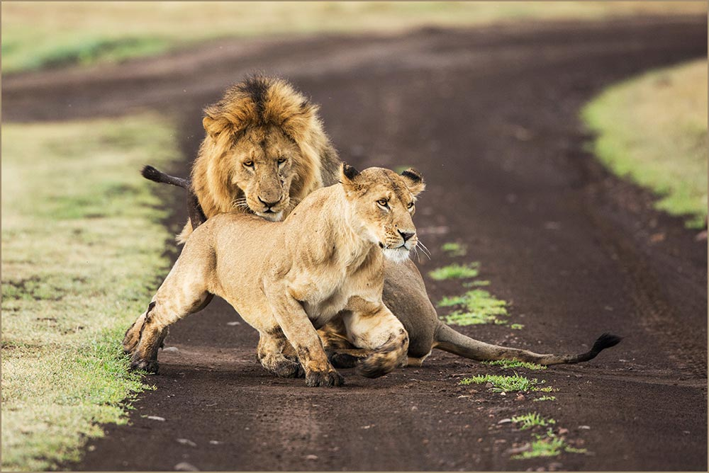 T100 Ngorogoro, Löwenpaarung / lions mating