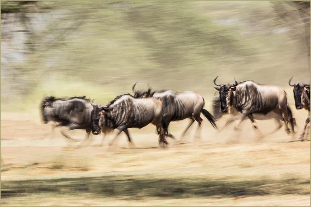 T118 Serengeti, Gnus / wildebeest