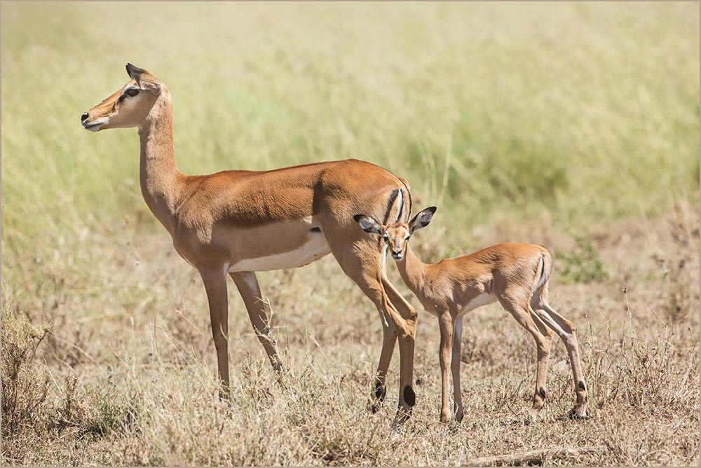 T122 Serengeti, Impala / impala