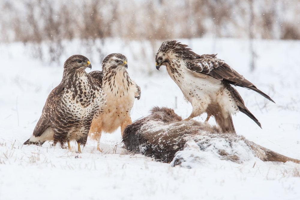 Mäusebussarde / common buzzards