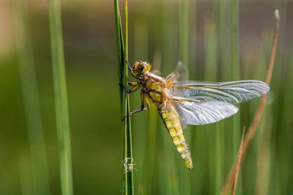 Libelle / dragon fly
