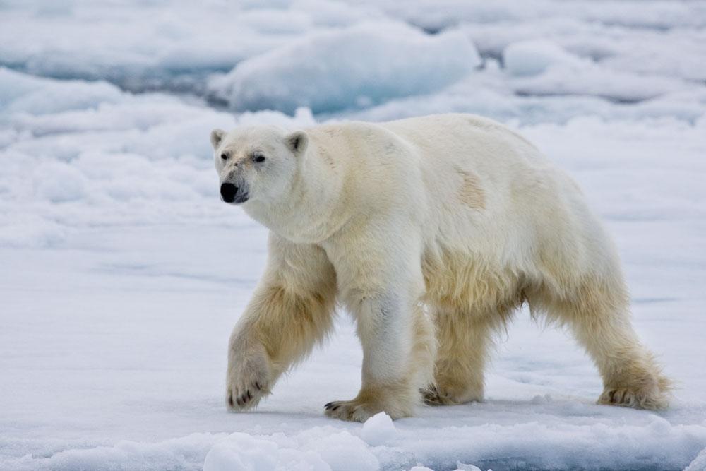 Eisbär / polar bear