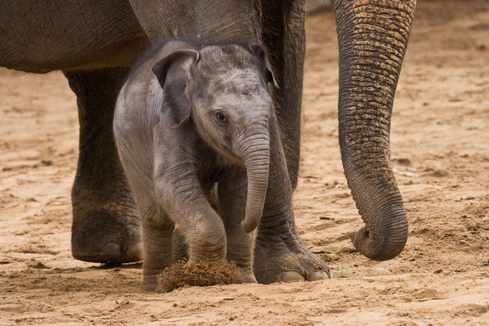 Indischer Elefant / indian elephant