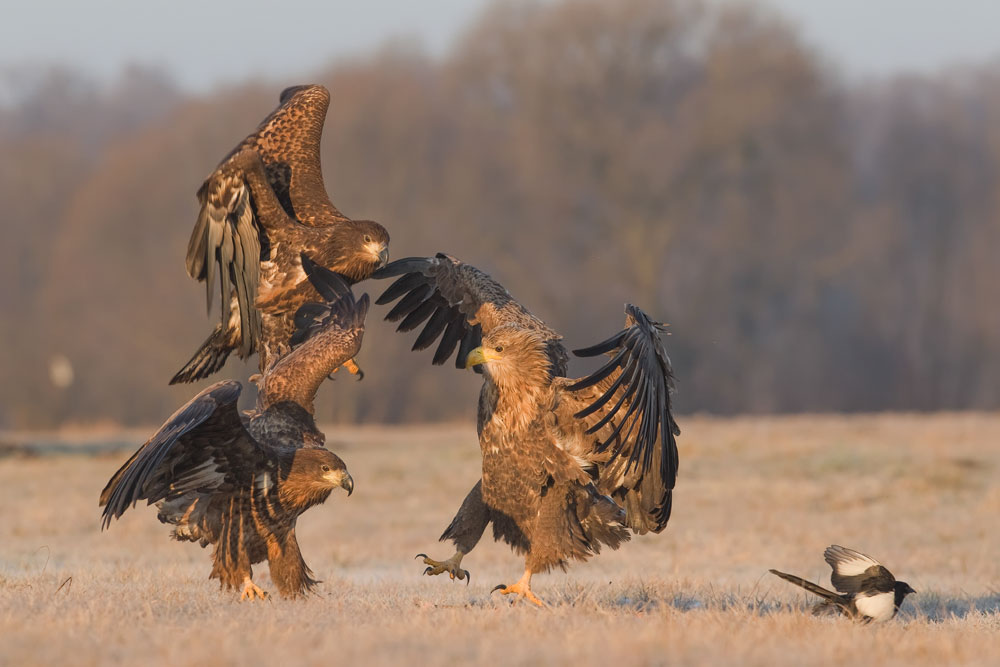 Seeadler / white-tailed eagle